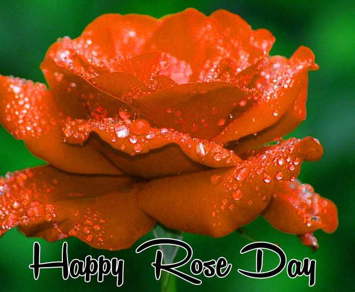 red flower Happy Rose Day Gift hd picture