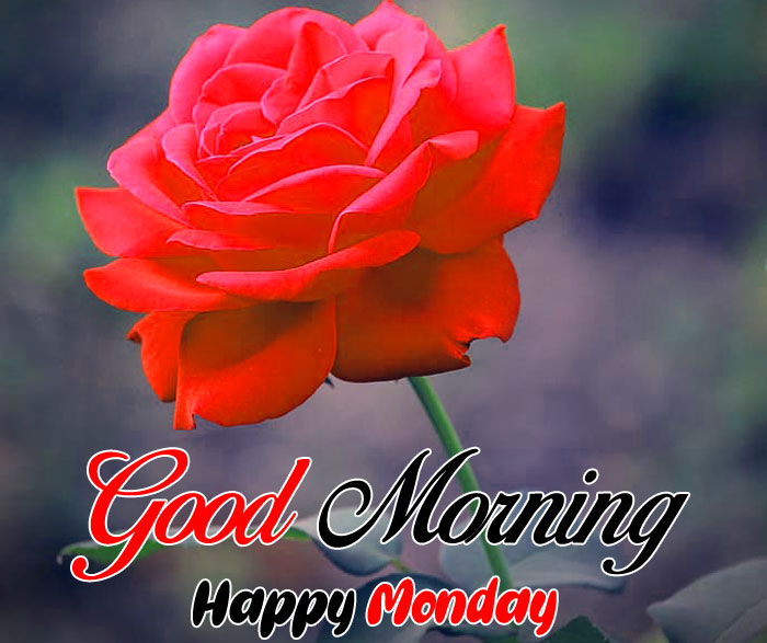 red rose flower Good Morning Happy Monday images hd