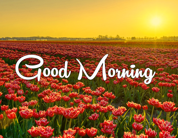 sunrise Good Morning tulips flower images hd