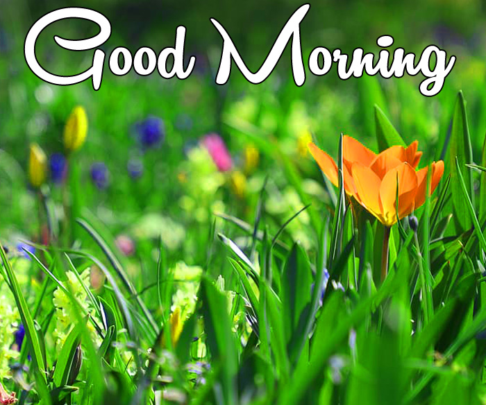 sunrise Good Morning tulips flower images