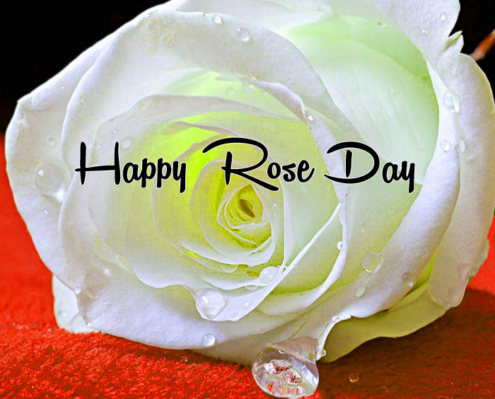 white flower Happy Rose Day hd