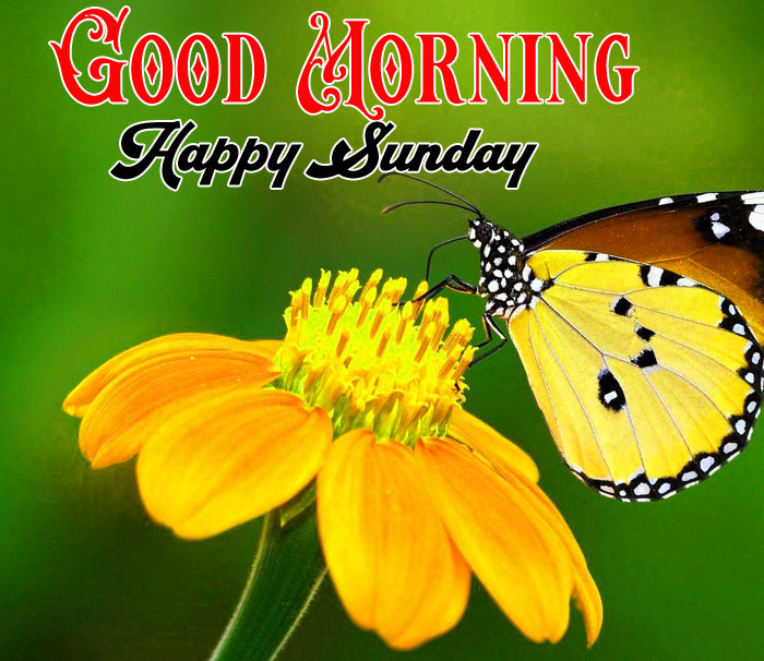 Good Morning Happy Sunday butterfly images hd