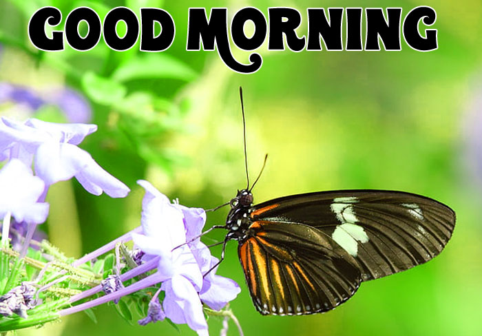 Good Morning butterfly pics hd