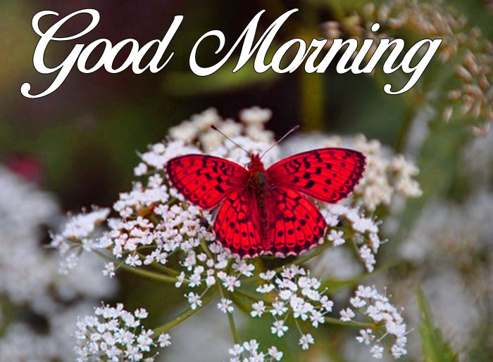 Good Morning red butterfly images hd