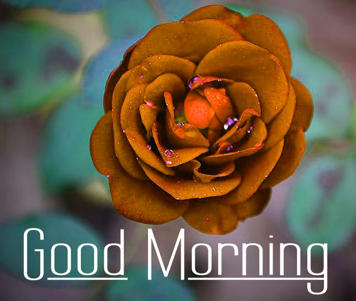 beautiful Good Morning rose images hd