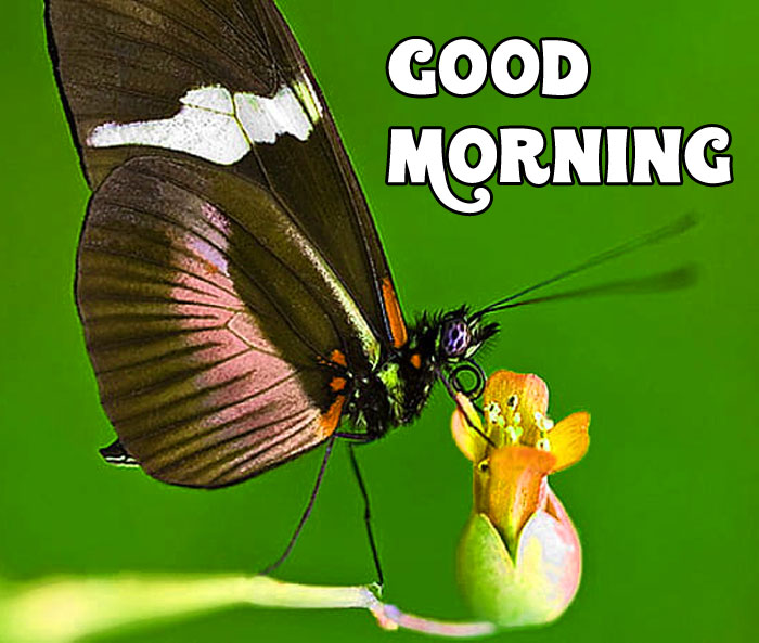 beautiful butterfly Good Morning wallpaper