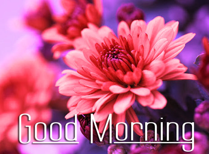 best dark pink flower Good Morning images hd