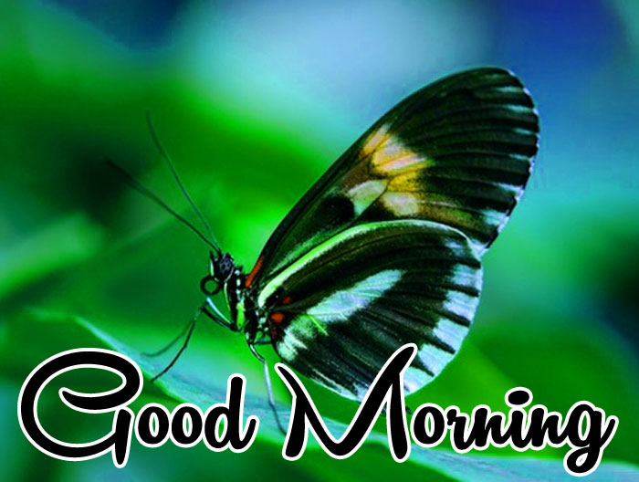 black butterfly Good Morning pics