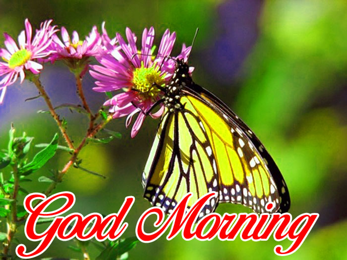 butterfly Good Morning pics hd