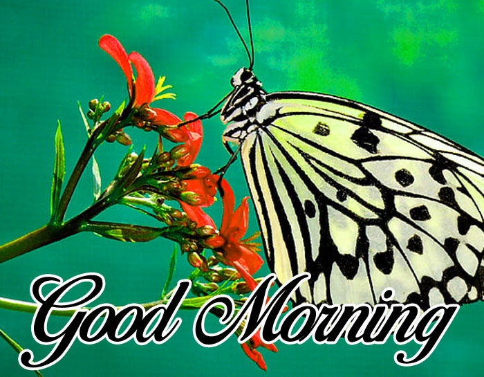 colorful butterfly Good Morning pics hd