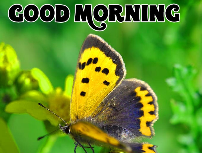 copper butterfly Good Morning pics hd