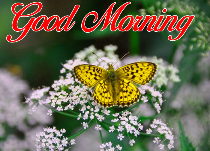cute yellow butterfly Good Morning pics