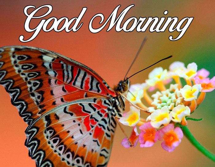 flower and butterfly Good Morning pics hd