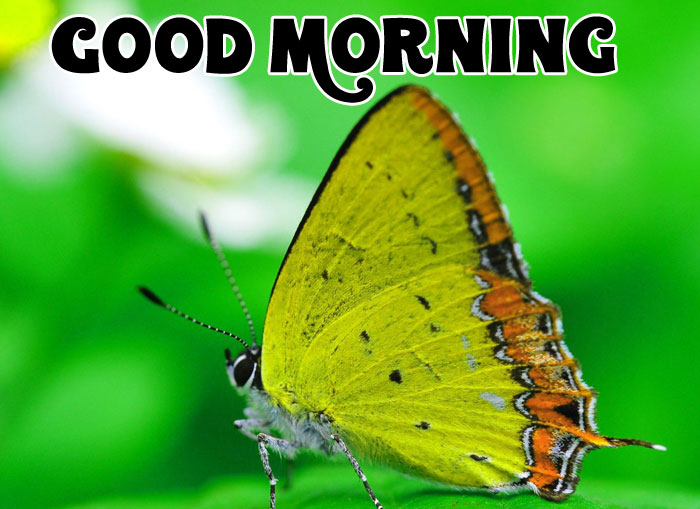 latest butterfly Good Morning wallpaper