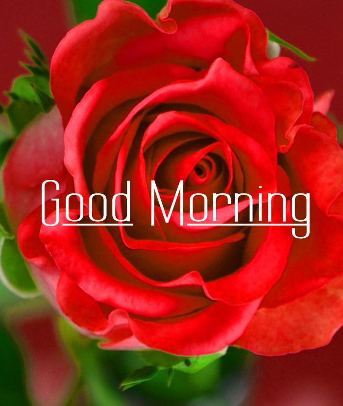 latest rose Good Morning pics hd