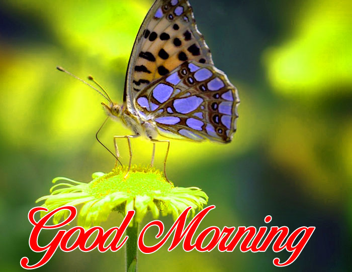 nature butterfly Good Morning pics hd