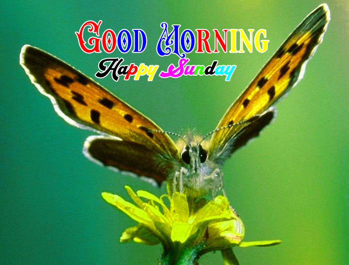 nice butterfly Good Morning Happy Sunday images hd