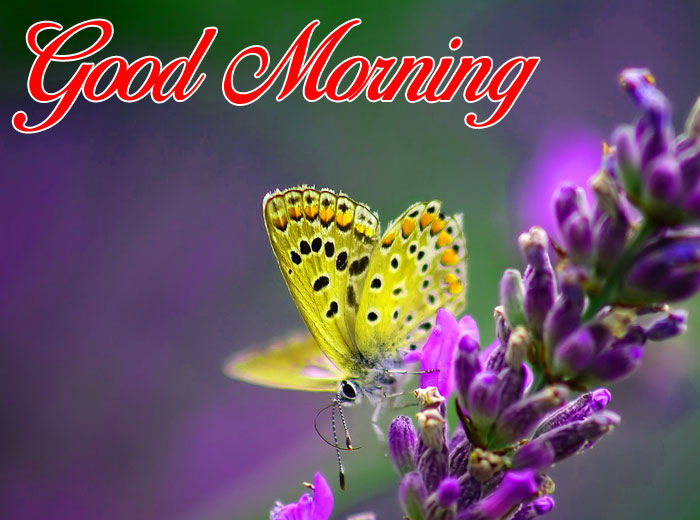 nice cute butterfly Good Morning pics
