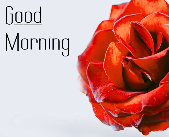 nice rose Good Morning pics hd