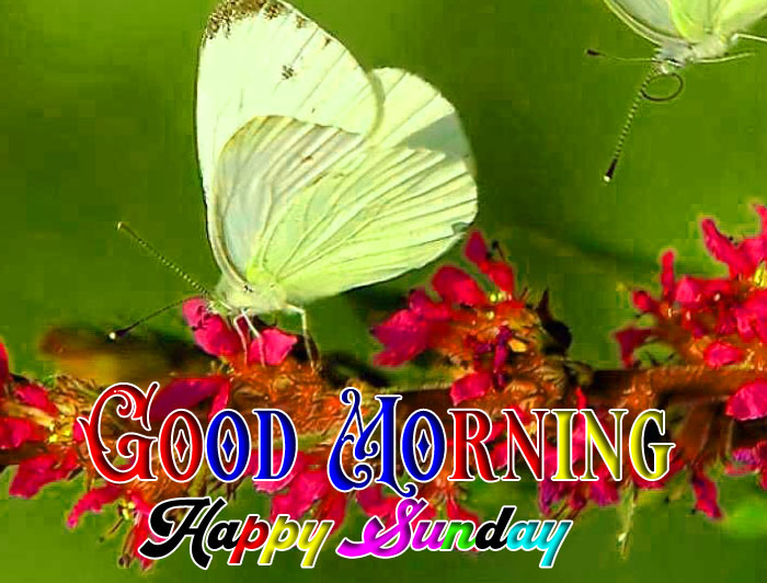 nice white butterfly Good Morning Happy Sunday wallpaper