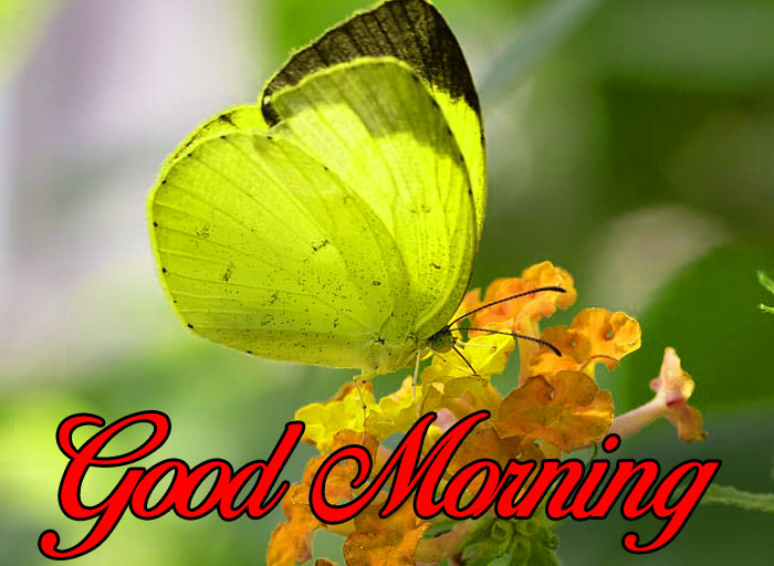 nice yellow butterfly Good Morning pics hd