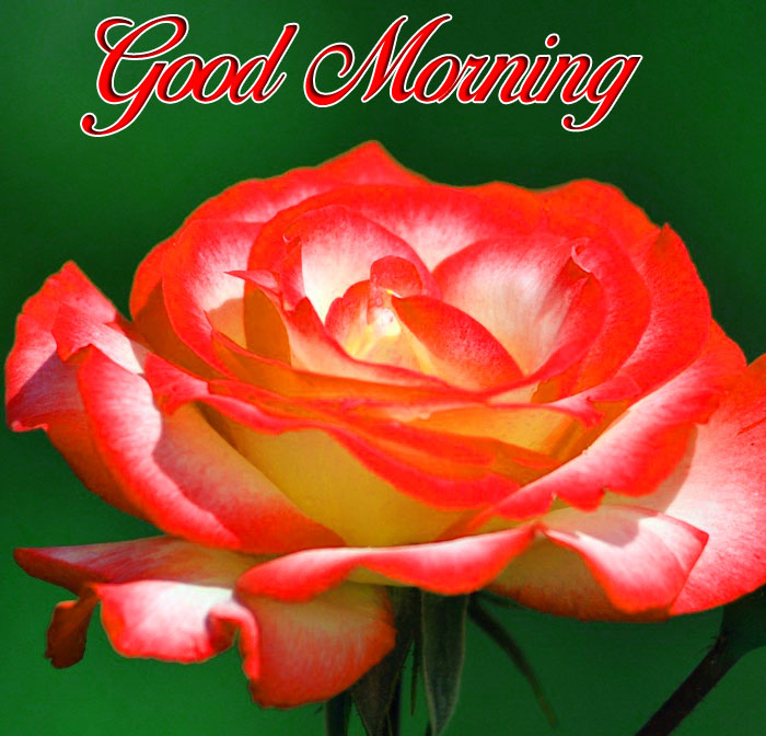 red rose Good Morning pics hd
