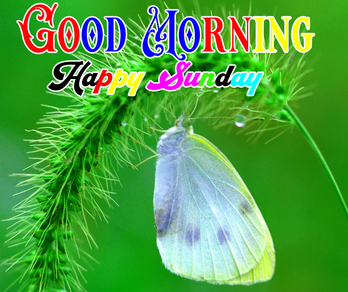 whte butterfly Good Morning Happy Sunday pics
