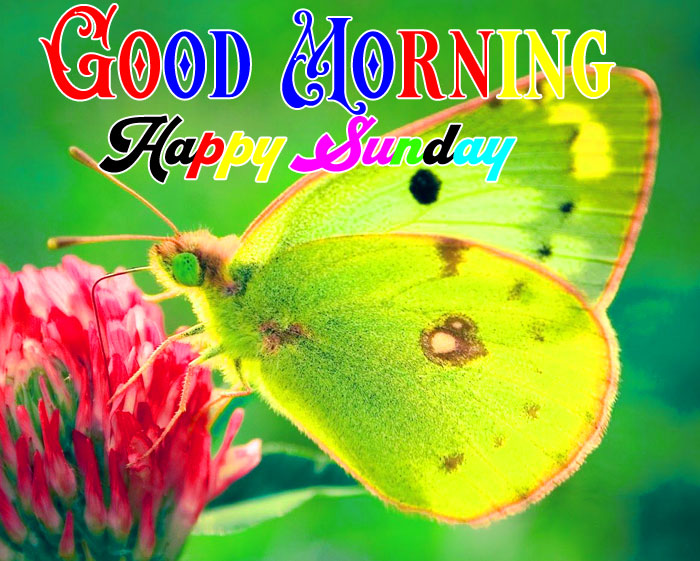 yellow butterfly Good Morning Happy Sunday wallpaper hd