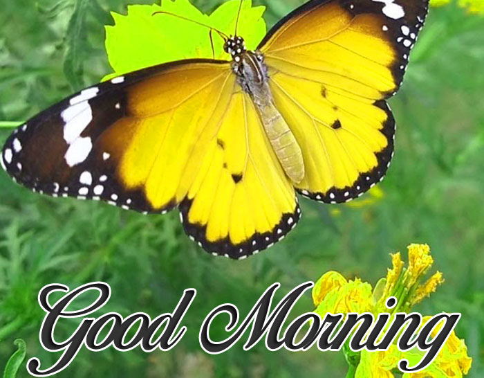 yellow butterfly Good Morning pics hd